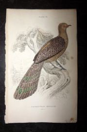 Jardine 1830's Antique Hand Col Bird Print. Polyplectron Chinguis